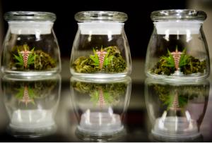 cannabis-medica-uso-medico