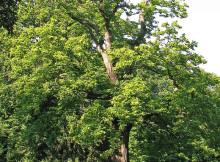 albero-di-castagno_NG1
